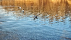 Three seagulls swimming on lake and looking for food in autumn, Slovakia