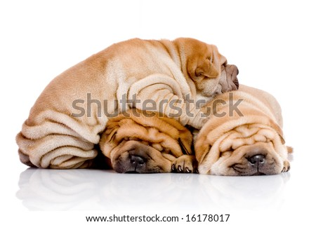 three Shar Pei baby dogs, almost one month old