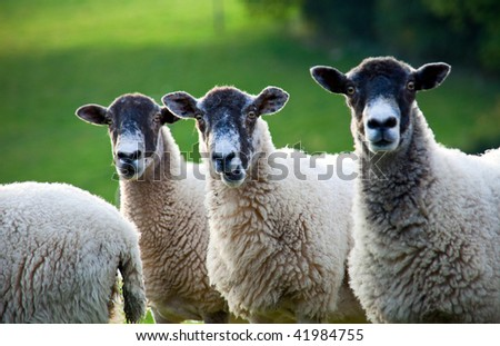 Three sheep standing in a line in amongst a flock in a field. Focus is on the middle sheep, whose mouth is open as if he might be saying something. - stock photo