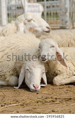 Three sheep were sleeping sweet dream.