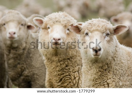 Three sheep within a mob turn to check out the photographer.