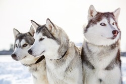 Three Siberian Husky dogs looks around.  Husky dogs has black and white coat color. Snowy white  background.