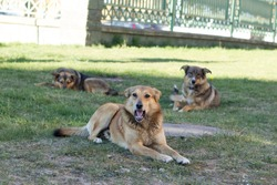 three similar dogs are relatives, older puppies sit and rest on the grass. One of the dogs is biting, opened its mouth