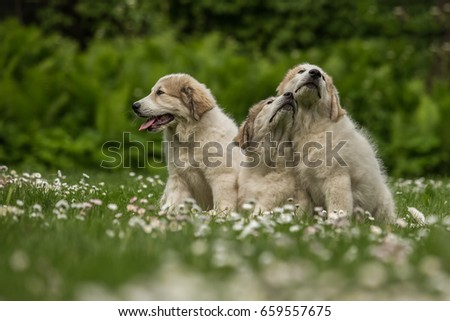 Three sitting Great Pyrenees puppies #659557675