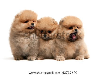 Pomeranian Spitz Puppies