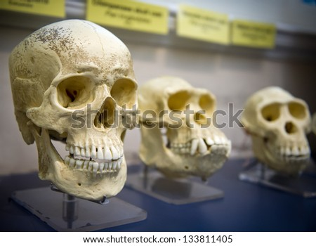Three skulls in a raw showing humans evolution