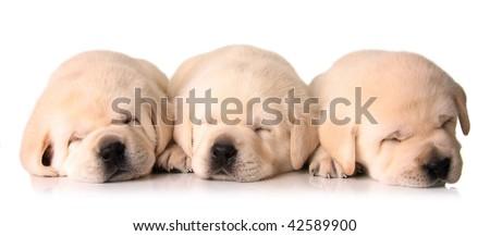 Three sleeping Labrador puppies, three weeks old.