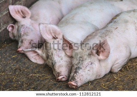 Three sleeping pigs in a row in a stable on a biological farm