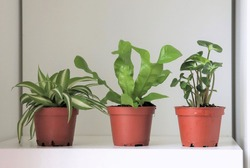 Three small house plants growing in brown pots on a white shelf at home. The house plants are a spider plant, a bird's nest fern and an arrowhead plant.