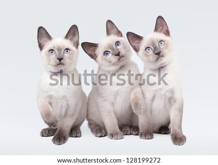 three small thai kittens on white background