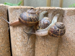 Three snails crawling on stone
