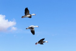 Three snow geese flying  in blue sky, Bosque del Apache National Wildlife Refuge.