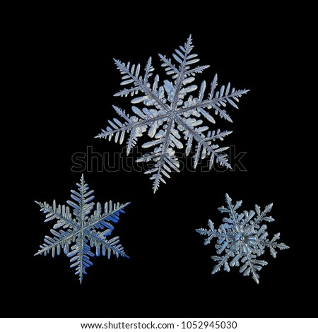 Three snowflakes isolated on black background. Macro photo of real snow crystals: large stellar dendrites with complex, ornate shapes, fine hexagonal symmetry, long, elegant arms and glossy surface.