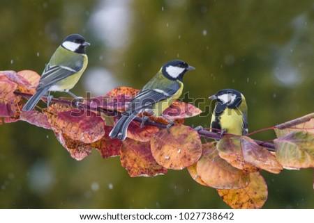 Three songbird. Garden bird Great Tit, Parus major, black and yellow songbird sitting on the nice  tree branch