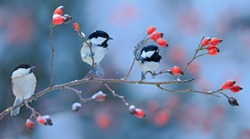 Three songbirds, Great Tit and Coal Tit, on snowy wild rose branch. Wildlife scene from nature.