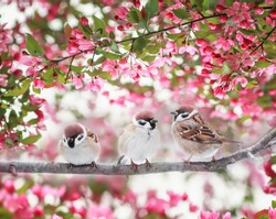 three Sparrow birds sitting on a branch of a flowering Apple tree with pink buds in the may Sunny spring garden