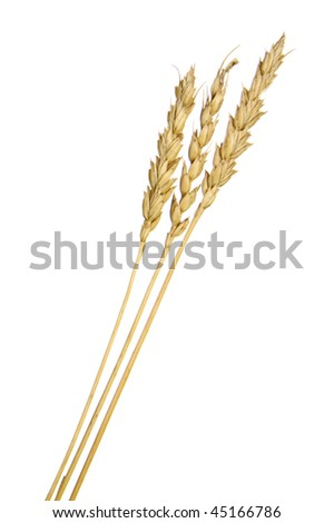 Three spikes of wheat isolated