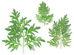 Three sprigs of medicinal wormwood isolated on a white background, top view. Sagebrush sprig. Artemisia, mugwort. Absinthe wormwood.