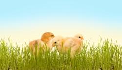 Three spring chicken in the fresh green grass
