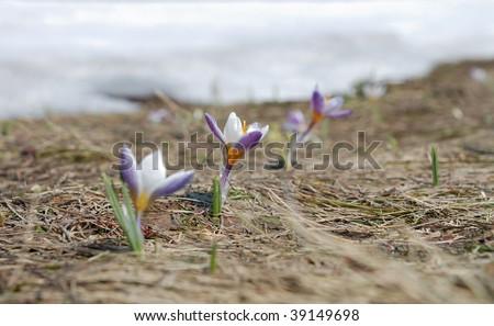 Three spring crocus on thawed patch