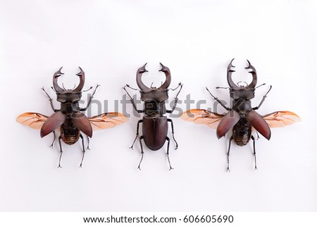 Three stag beetle insects on white background  #606605690
