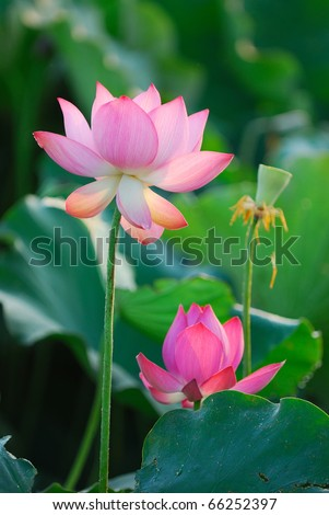 Three stages of the Lotus from birth to death