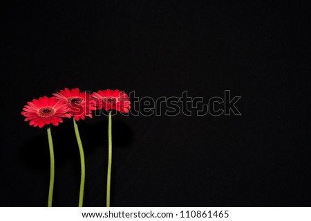 Three standing red flowers isolated on a black background