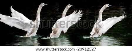 three starting swans