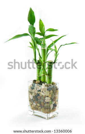 Three sticks of green lucky bamboo set in stones in glass vase
