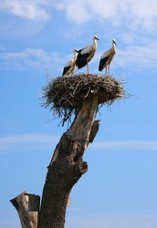 Three storks in a nest on a tree