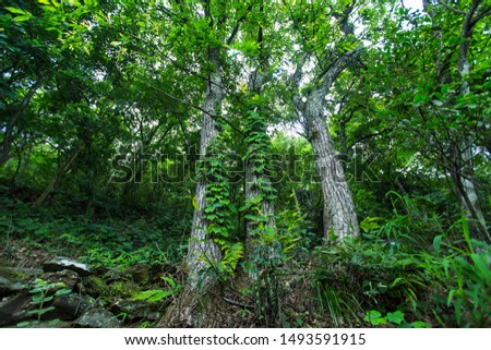 Three straight tall tall banyan trees are lined up next to the original forest trails. #1493591915