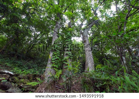 Three straight tall tall banyan trees are lined up next to the original forest trails. #1493591918