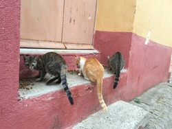 Three street cats eating cat feed at the door step of a house in Ayvalik, Turkey