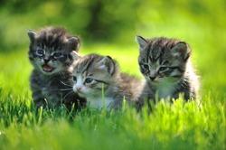 Three striped kittens sitting in the grass