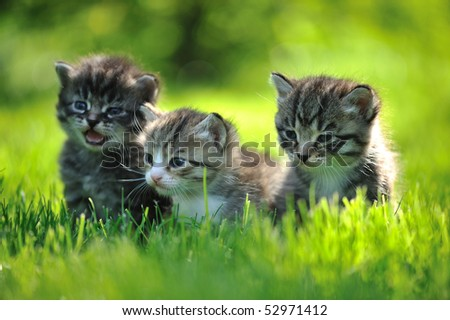 Three striped kittens sitting in the grass