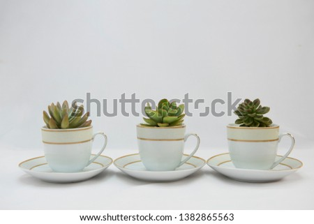 Three succulent rosettes planted in tea cups on saucers. Arranged in a straight row. Full side view on white background. #1382865563