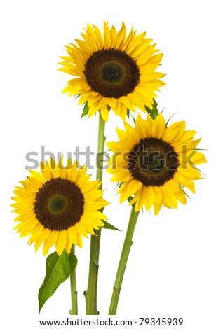 Three sunflower on white background