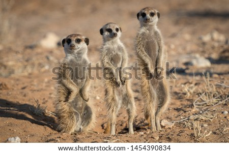 Three Suricate standing shortest to tallest, guarding there home in the Kalahari desert