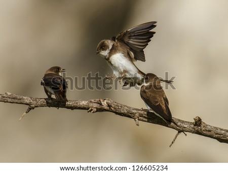 Three Swallows flying