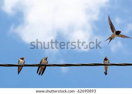 stock photo : Three swallows on a wire and one taking off