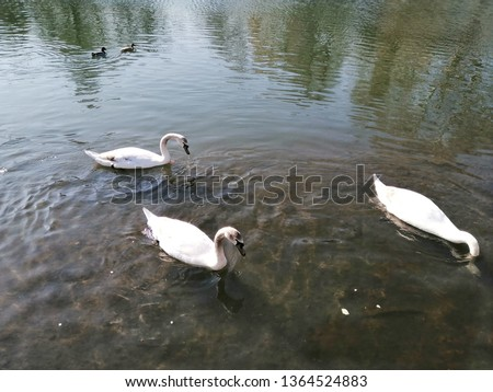 Three swans by the river in summer with river background.Swan couple together in the river.Isolated swan.