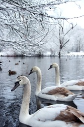 Three swans swimming on lake during German winter. Nature with snow and ice. Winter and wildlife photography.