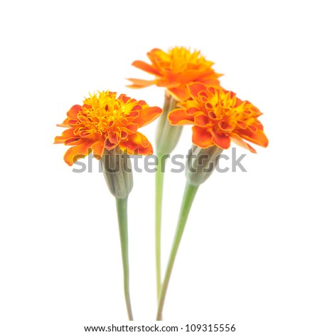 three Tagetes (African or French marigold) isolated on white