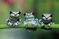 Three tiny amazon milk frog on branch, Panda Bear Tree Frog