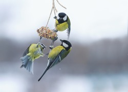 three Tits hanging on the feeder in the Park in the winter