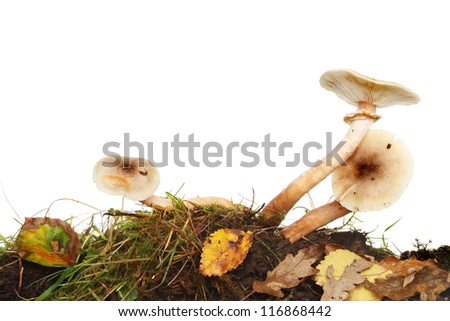 Three toadstool fungi growing amongst grass, moss and Autumnal leaf litter against a white background