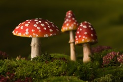 Three toadstools fly agaric to be used for digital fairytale composites