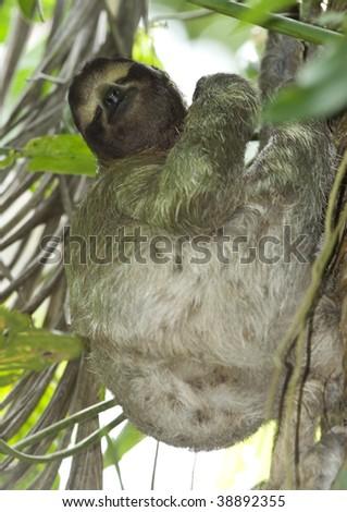 three toe sloth sleeping upright in tree, costa rica