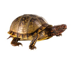 Three-toed Box Turtle (terrapene carolina triunguis) goes. Side view