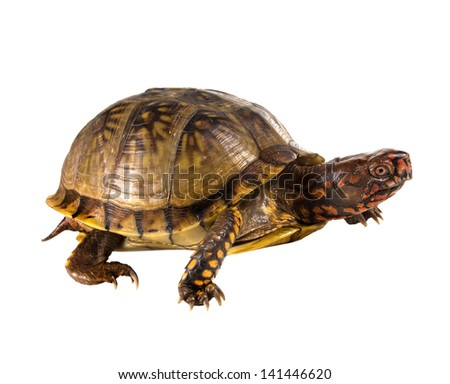 Three-toed Box Turtle (terrapene carolina triunguis) goes. Side view